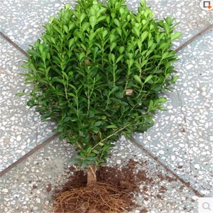瓜子黄杨小叶黄杨树苗黄杨床苗千年矮大叶黄杨小苗绿化苗木
