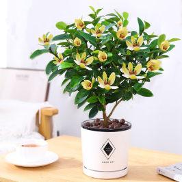 含笑花盆栽四季浓香型庭院阳台植物树苗带花苞室内好养活观花绿植