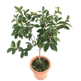 含笑花盆栽 浓香型 香妃红花含笑树苗易活 四季庭院植物耐寒花卉