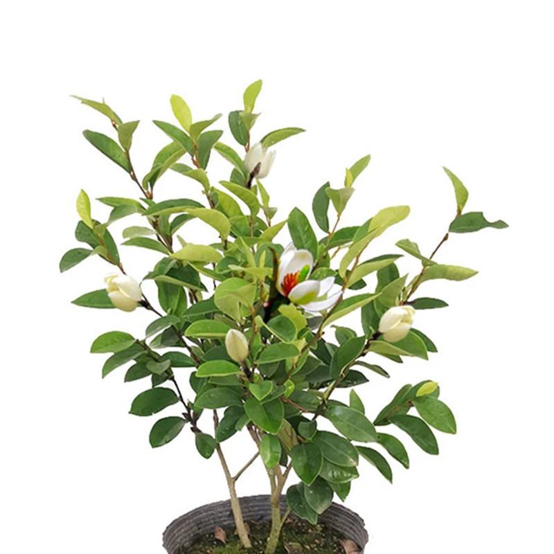 含笑花盆栽庭院花卉浓香型带花发货四季常青植物室内花含笑花树苗