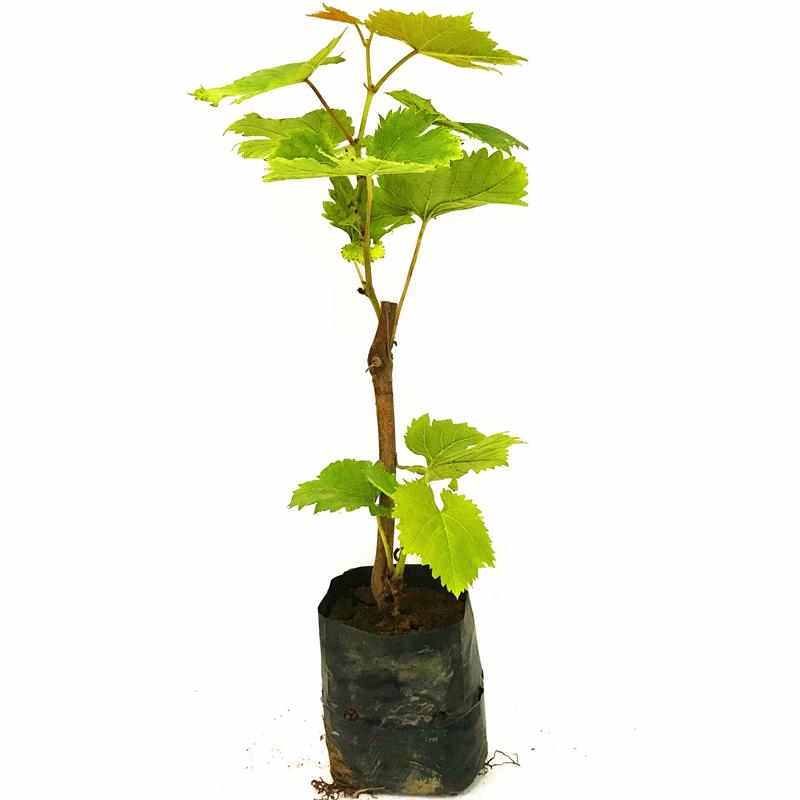 巨峰葡萄苗夏黑提子爬藤葡萄树苖果树果苗南北方种植盆栽当年结果