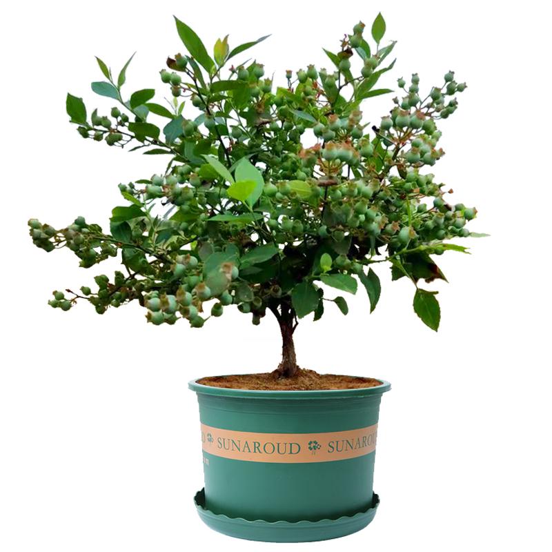 蓝莓树果苗带果蓝莓苗盆栽南北方种植兔眼特大阳台果树苗当年结果