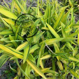 菲黄竹 地被竹 地被植物 盆景 庭院绿化植物 盆景竹