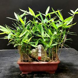 菲黄竹菲白竹迷你小竹子君苗阳台客厅室内绿植竹盆栽景竹观赏竹