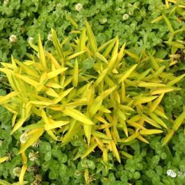绿宝宝园艺 地被竹 菲白竹 菲黄竹 盆栽苗 矮生竹 庭院地被竹