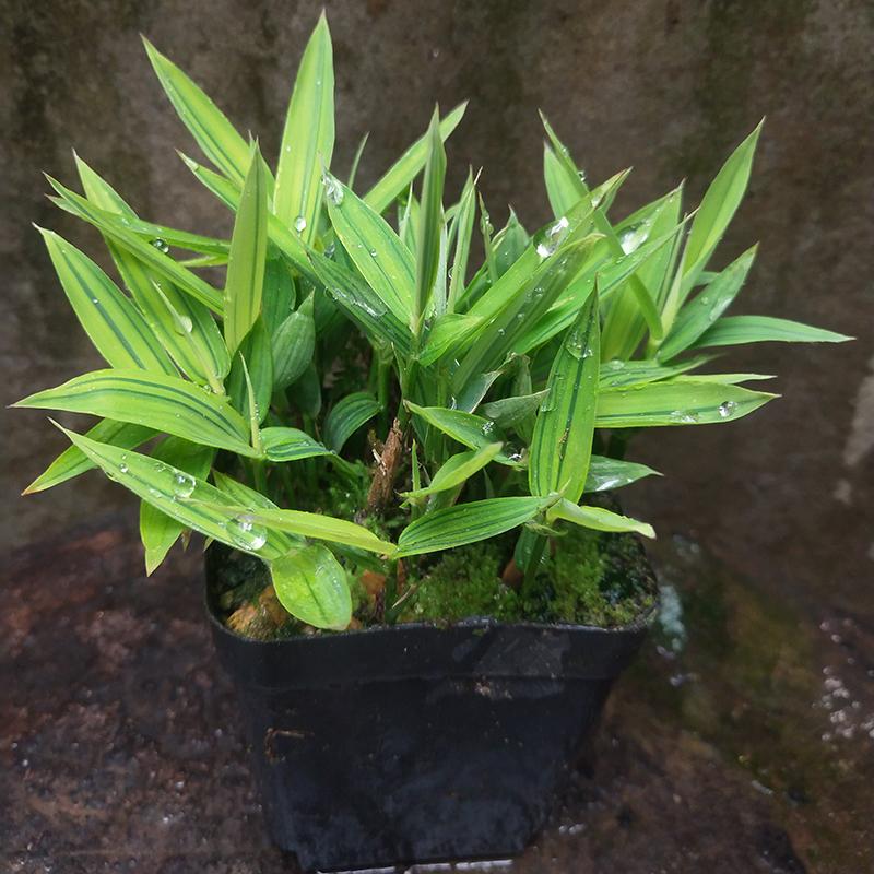 日本山野草迷你竹子菲黄竹菲白竹观叶植物盆栽掌上绿植美观素材竹