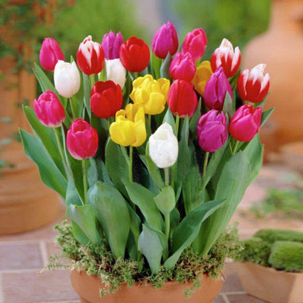 进口郁金香种球重瓣大球四季易活花苗盆栽植物阳台花卉水培花种子