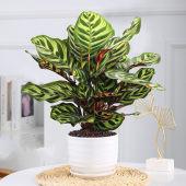 孔雀竹芋盆栽植物花办公室内红美丽好养易活四季常青绿植观叶花卉