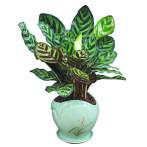 孔雀竹芋盆栽办公室内植物四季常青吸甲醛客厅净化空气桌面小绿植