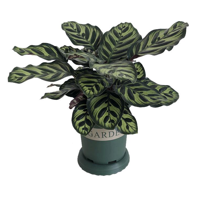 孔雀竹芋室内水培盆栽四季常青紫背喜阴植物吸甲醛净化空气包邮
