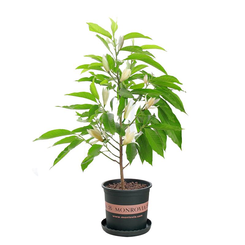 白兰花盆栽花卉植物室内花四季黄角兰白玉兰花树苗老桩带花苞开花