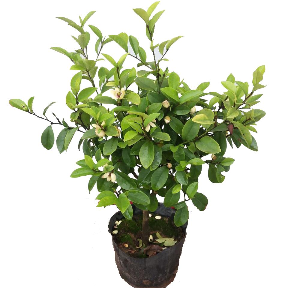 阳台净空气吸甲醛植物红花紫花含笑树苗盆栽绿植室内庭院芳香花卉