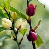 含笑花苗00 含笑树苗红花含笑苗含笑花盆栽紫花含笑盆栽花苗