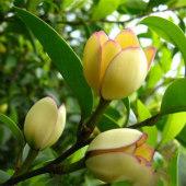 含笑树苗红花含笑苗 含笑花树苗 含笑花盆栽紫花含笑盆栽花苗