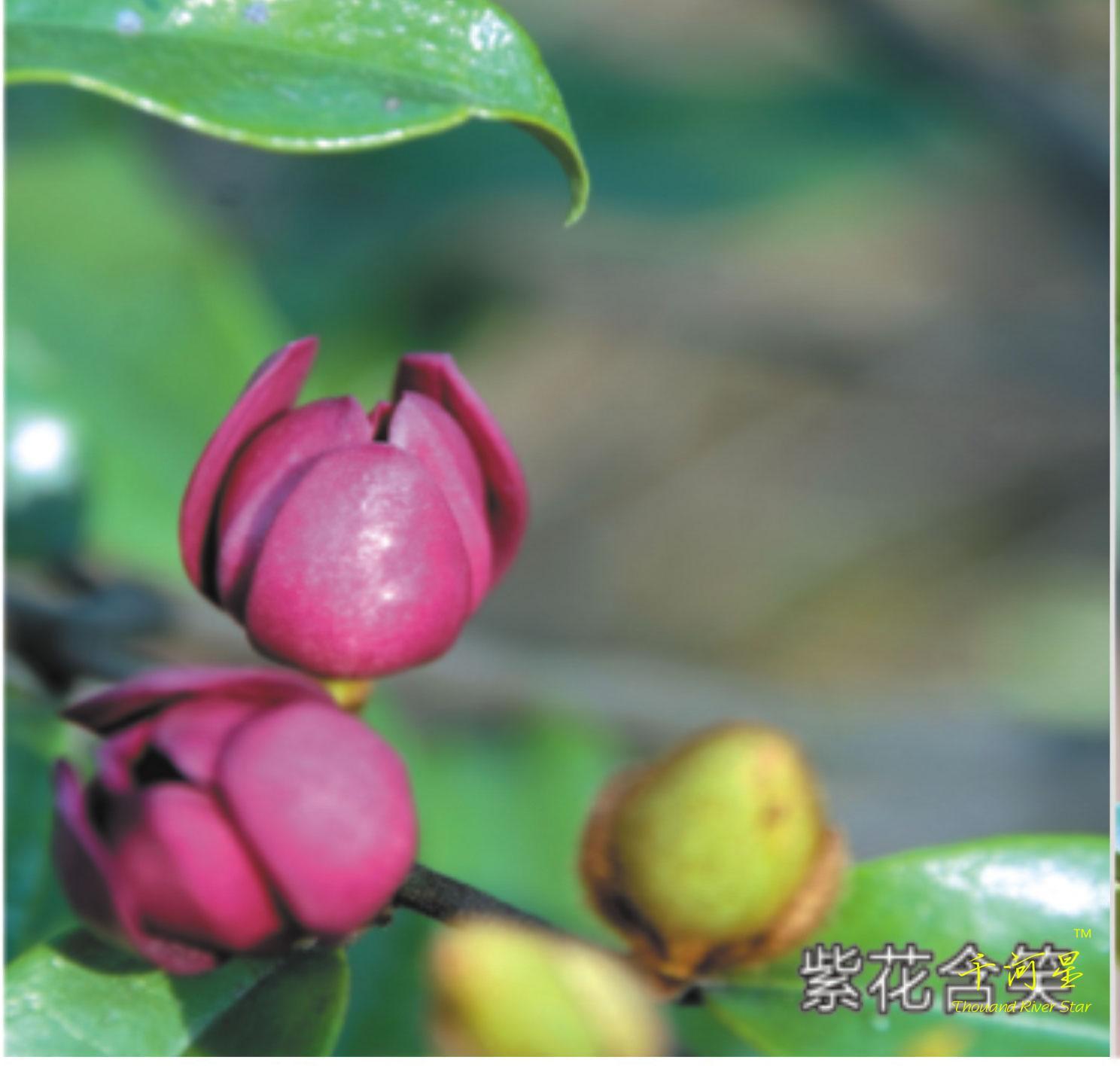 墨紫紫花含笑树苗嫁接 香蕉花 野生盆栽庭院植物醉浓香型花卉大树
