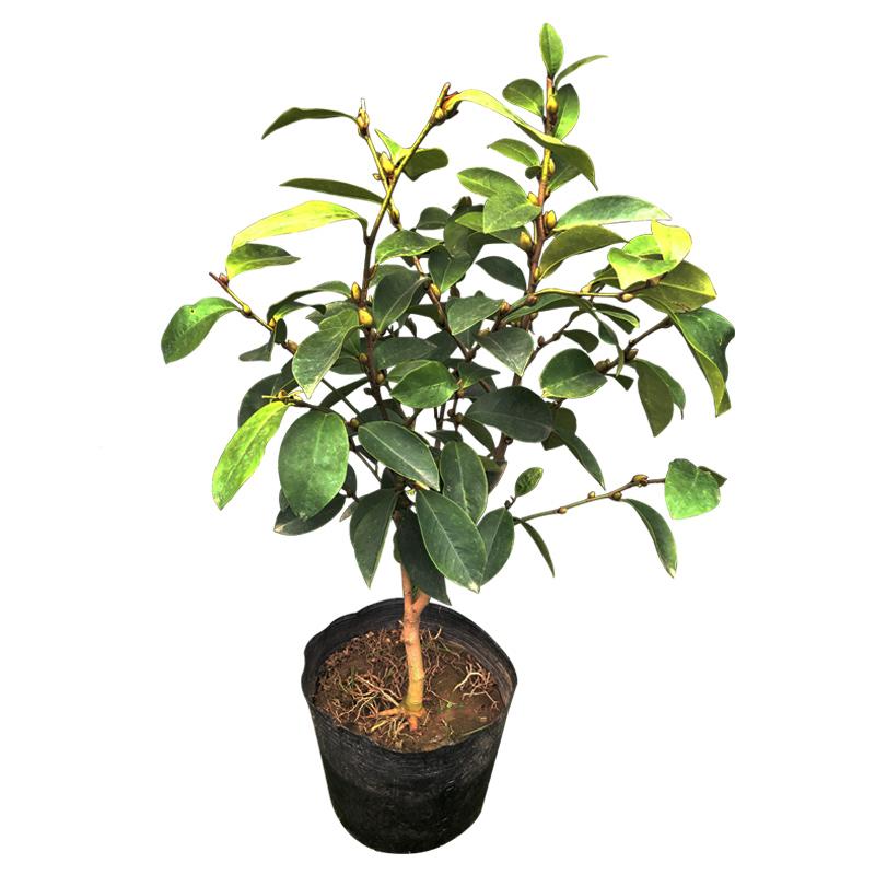 含笑花植物四季浓香型黄花含笑树苗庭院紫花含笑盆栽苗花卉绿植