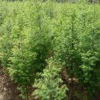水杉树苗南北方种植园林行道树绿化树苗水杉苗庭院地栽盆栽杉树苗