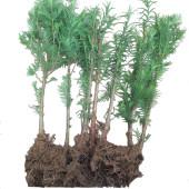 绿化苗水杉树苗水杉苗水杉小苗庭院行道树适合河边农田南北方种植