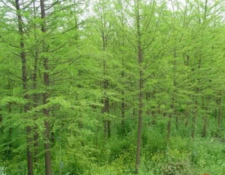 绿化树苗水杉树苗水杉苗杉树苗适合河边农田庭院行道树南北方种植