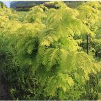 水杉树苗小苗盆景庭院植物花卉室内高档植物金叶水杉树苗