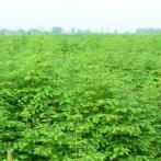 绿化苗木水杉树苗水杉苗水杉小苗盆栽苗庭院行道树南北方种植