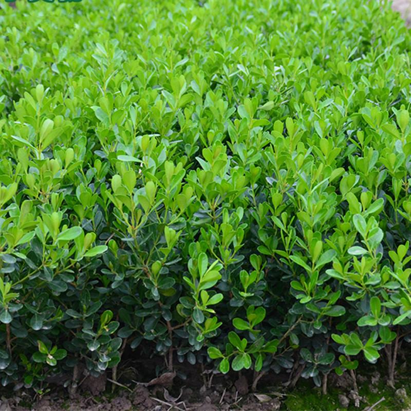 精品小叶黄杨苗瓜子黄杨苗法国冬青苗冬青苗金边黄杨庭院绿篱树苗