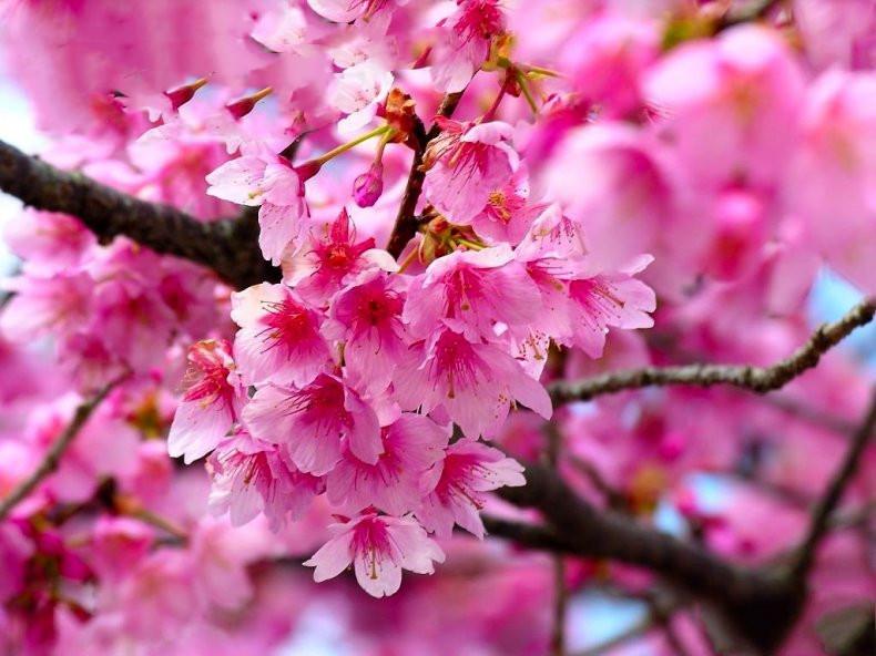 紫叶桃红叶桃红叶碧桃紫叶碧桃桃花树苗庭院观赏路边风景树绿化苗