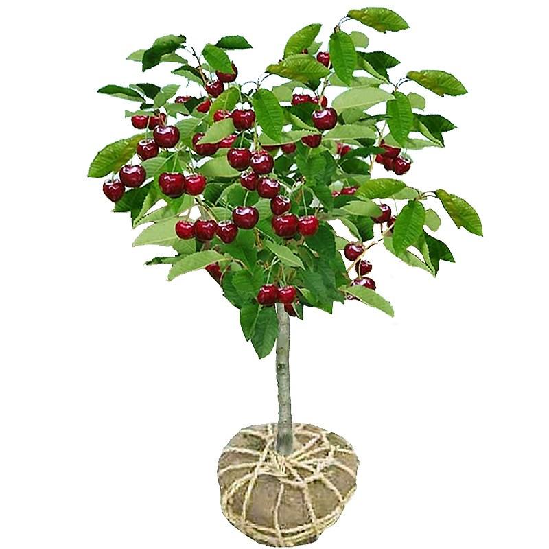 车厘子树苗樱桃树苖南方北方种植特大樱桃果树苗矮化盆栽当年结果
