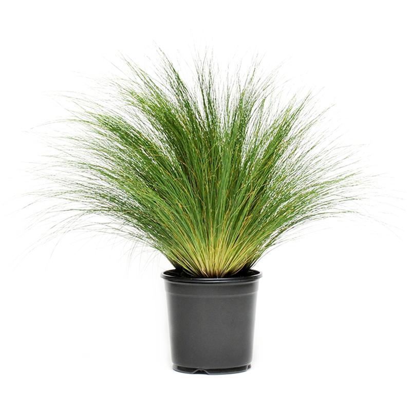 罗曼的花园  观赏草金叶石菖蒲金丝苔草埃弗里斯特鼠尾草盆栽植物