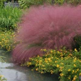 花镜地被植物粉黛乱子草盆栽棕红苔草多年生观叶植物毛芒乱子草