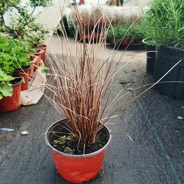 包邮花镜地被植物棕红苔草盆栽棕红色苗多年生常绿耐寒耐热观赏草
