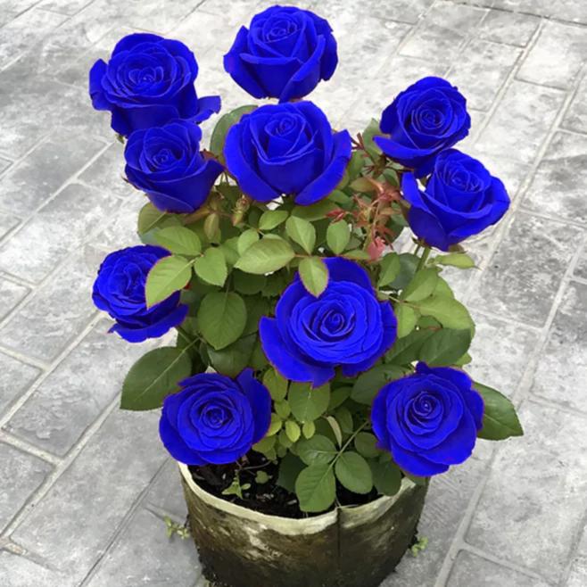 云南直发蓝色玫瑰花老桩老根四季开花妖姬月季花苗盆栽室内特大花