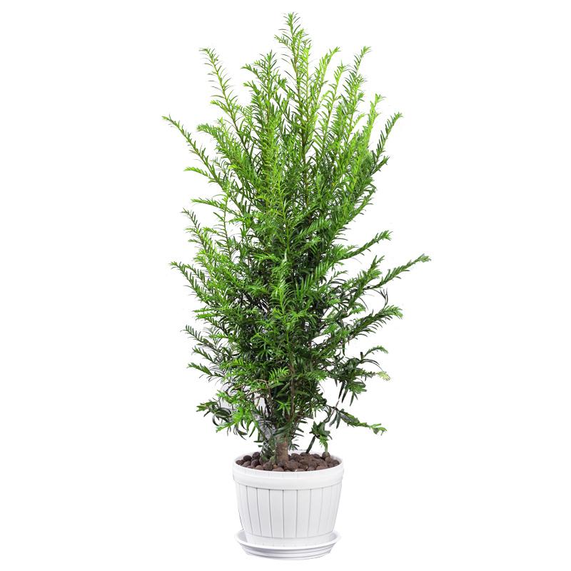 正宗红豆杉盆栽树苗花卉植物办公室内大型盆景桌面小绿植好养老桩