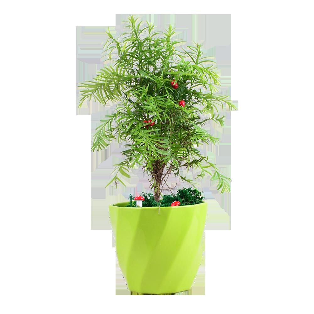 红豆杉盆栽净化空气除甲醛防辐射办公室内植物绿植花卉盆景包邮