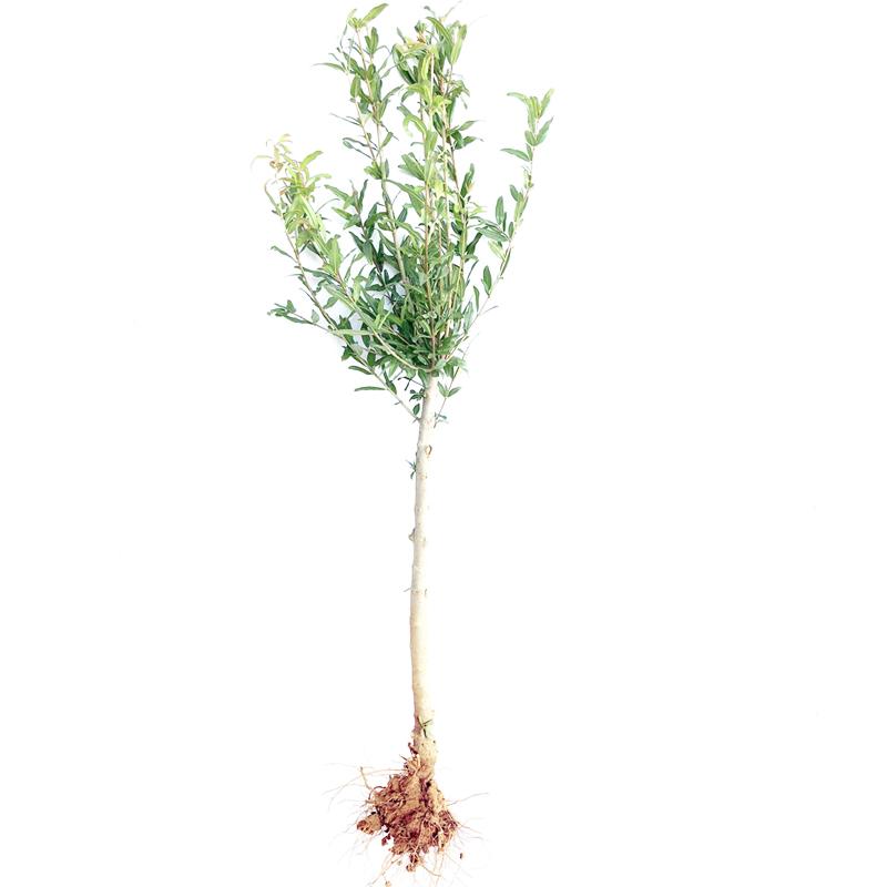 石榴树树苗突尼斯软籽盆栽地栽当年结果南方北方庭院特大石榴果树