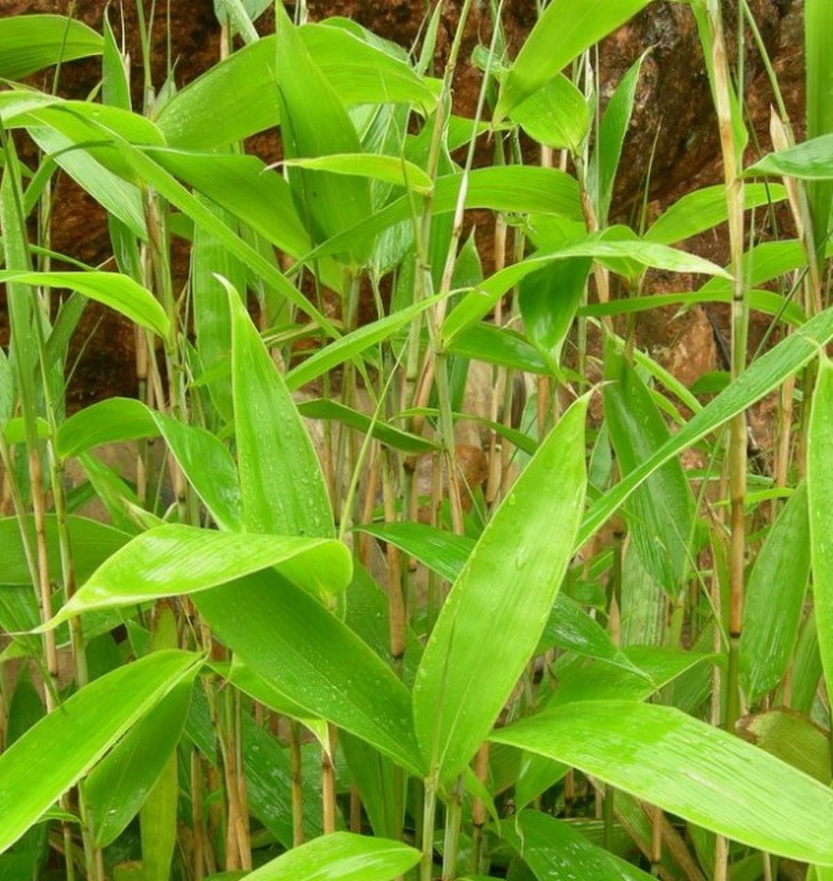 箬竹苗箬竹根 粽叶竹子 叶片宽大 好成活竹苗庭院小区竹苗