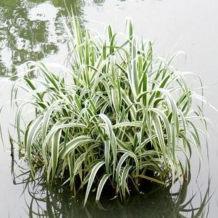 花叶芦竹湿地绿植花卉盆景花苗净化水质池塘河道浮岛公园小区绿化