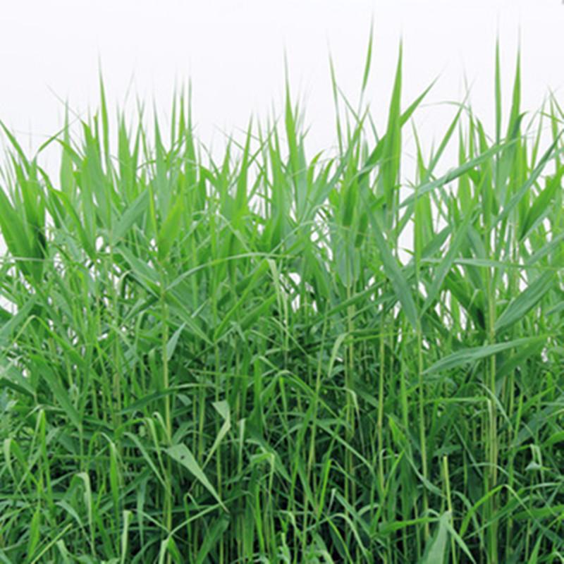 新鲜芦苇苗根苗芦苇草植物苗 花叶芦竹 水生挺水植物湿地工程绿化