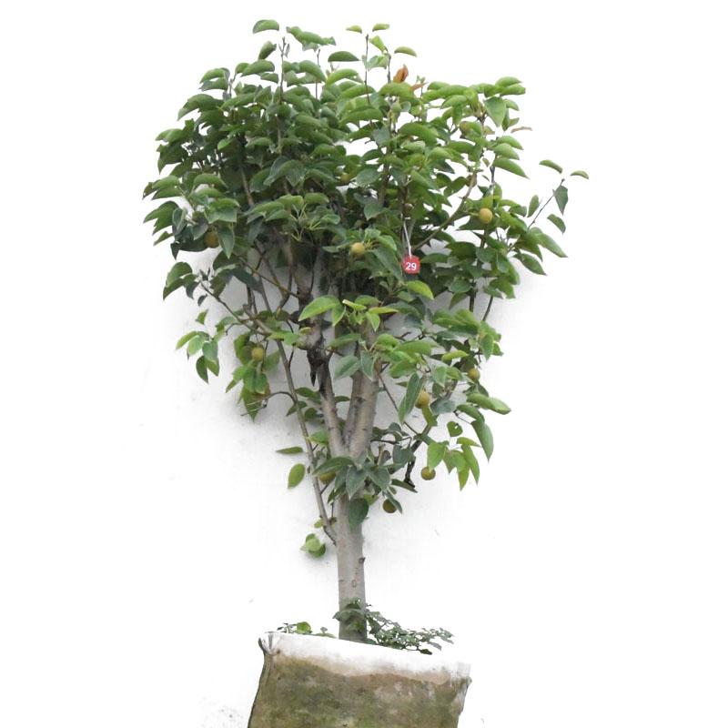 梨树果苗特大庭院种植香梨苹果梨翠冠早酥红梨树嫁接苗南方大果树