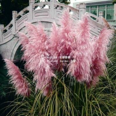 矮蒲苇矮蒲苇苗名贵观赏草矮蒲苇庭院种植花卉粉蒲苇芦苇观赏草。