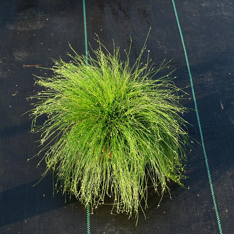 蓝羊茅观赏灯芯草冷季型多年生耐寒室外庭院别墅花园花境植物