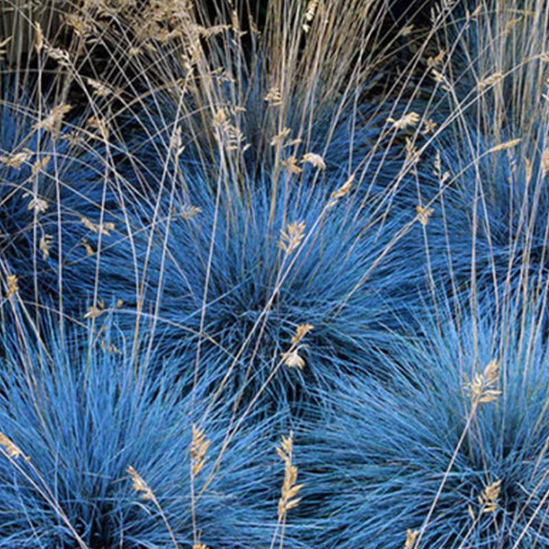 花镜植物 蓝羊毛花苗盆栽 四季常绿花园观叶多年生观赏草蓝羊茅