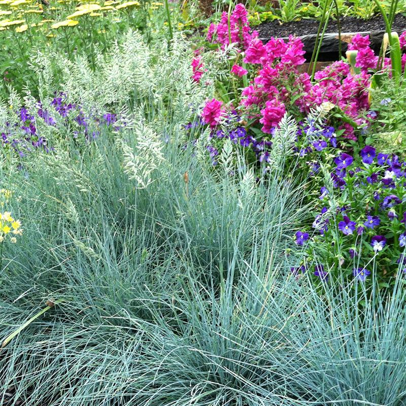 '埃利'蓝羊茅Elijah bule蓝色观赏草盆栽室外常绿地被花镜植物