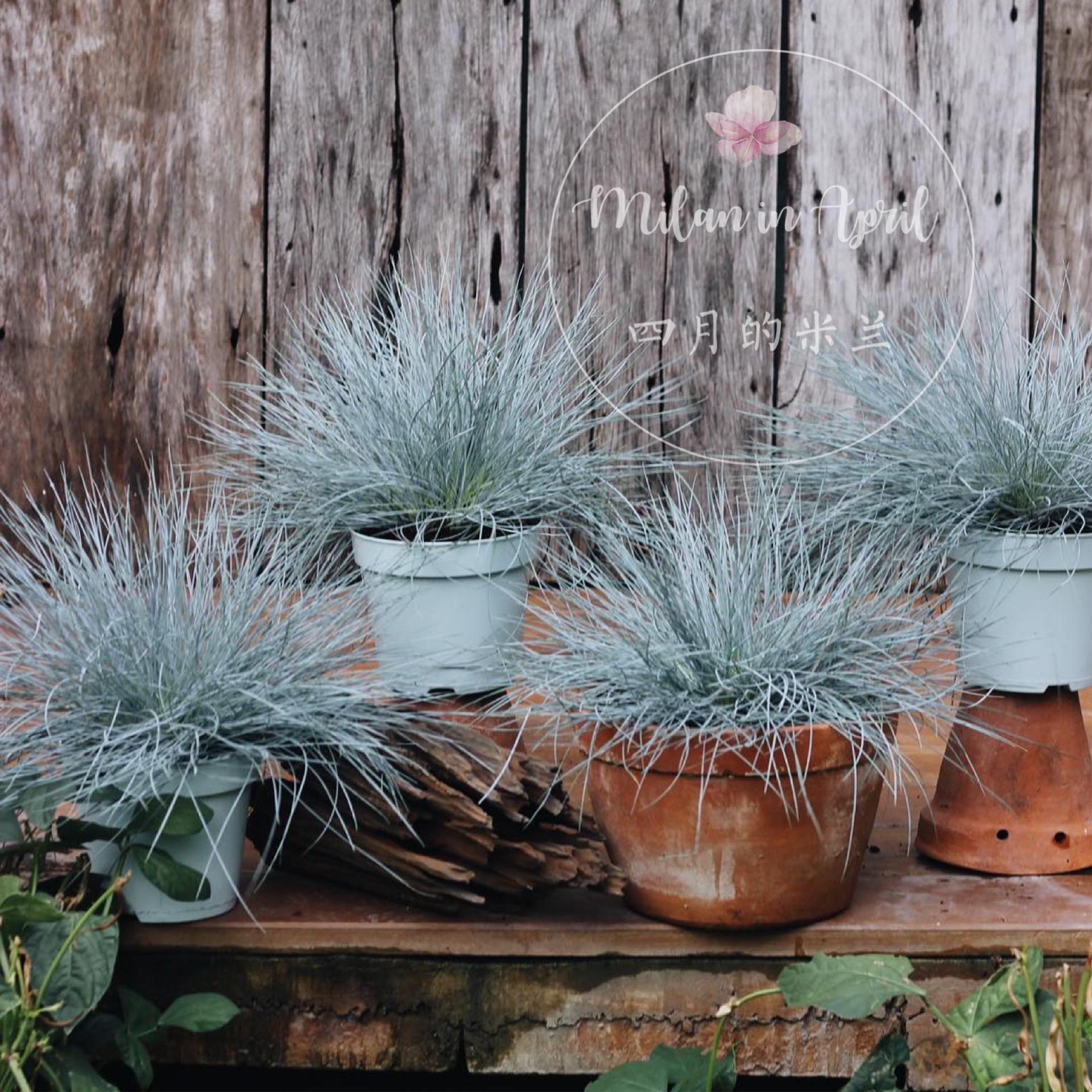 蓝羊茅观赏草地被植物造景大苗盆栽耐寒耐旱多年生长四季常青组盆