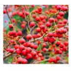 山楂种子 山里果山里红种子 赤爪实 赤爪子山楂树种子 包邮