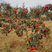 山楂树活苗南方北方种植嫁接当年结果庭院特大五楞盆地栽山楂树苗