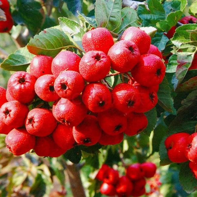 山楂树种子 歪把红山楂籽果树苗木种子 水果树可盆栽10粒山里红