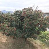 山楂树苗嫁接特大山楂苗南方北方种植当年结果盆栽地栽果树苗