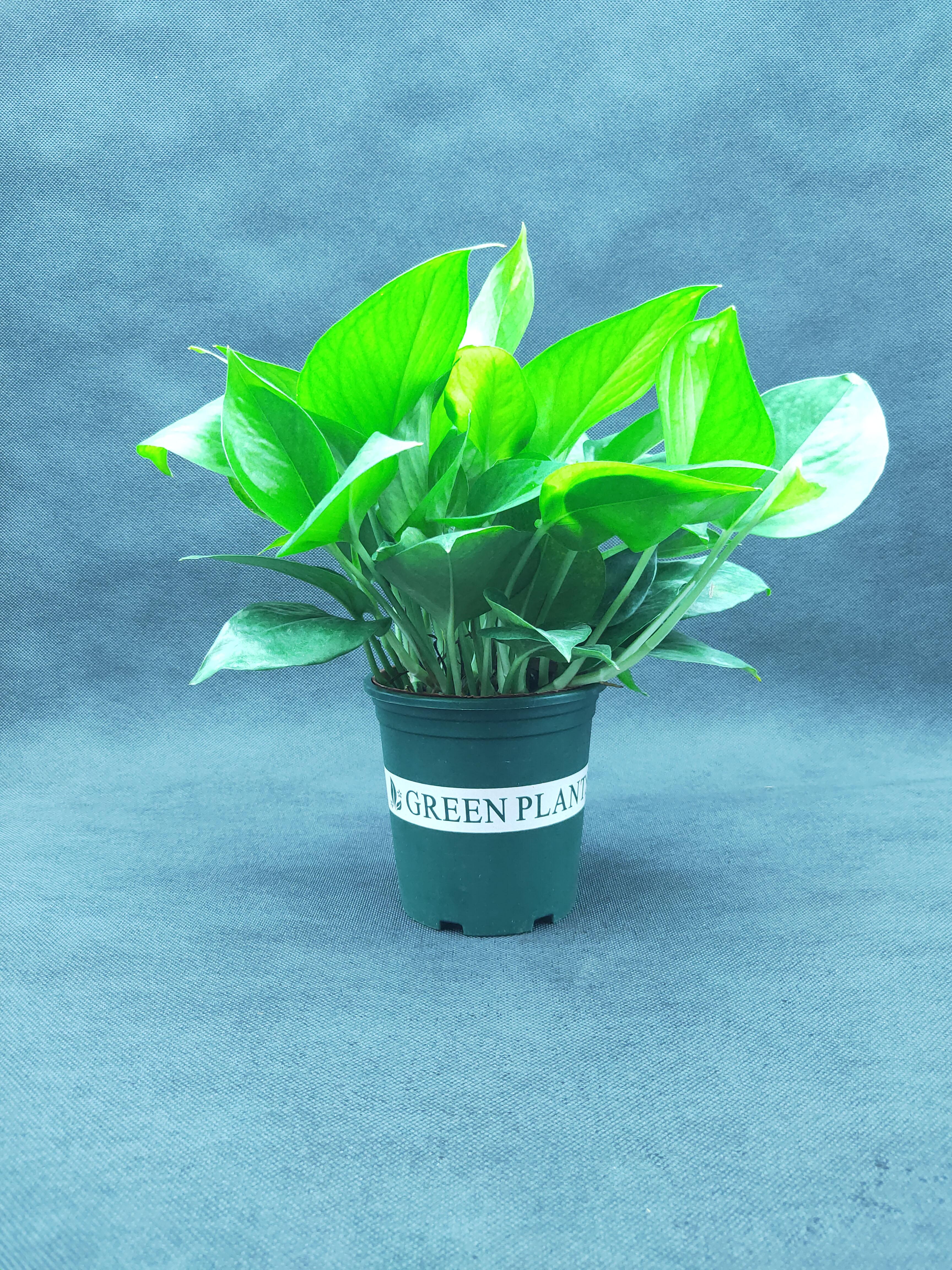 除甲醛净化空气绿萝盆栽室内植物水培长藤垂吊绿箩新房家用吸甲醛
