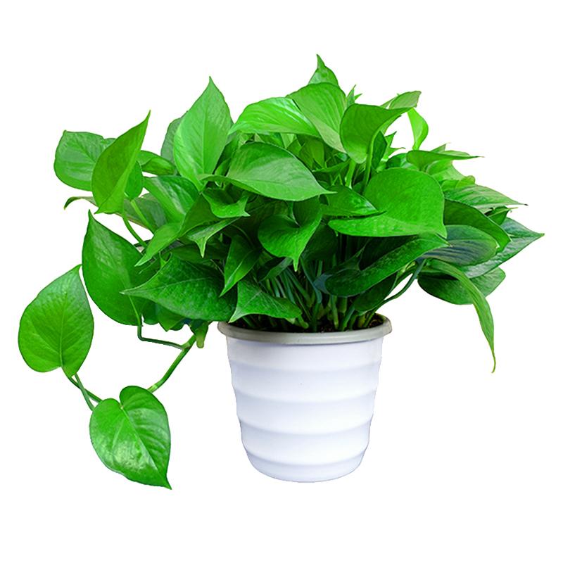 纽美绿萝盆栽花卉植物室内吸甲醛净化空气吊兰大绿箩水培绿植盆